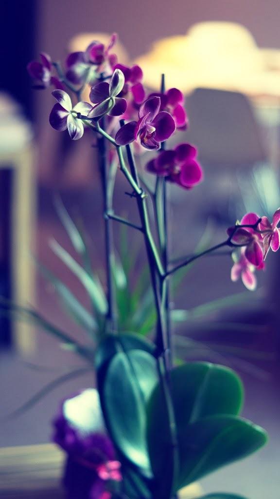 красива орхидея