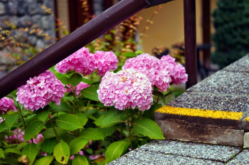 розови хризантеми